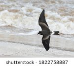 Small photo of First-winter Leach's Storm Petrel (Hydrobates leucorhous) flying over the beach in England during a fierce storm.