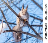 Squirrel In Winter Sits On A...