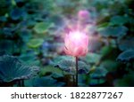 Pink Lotus Flower In The Lotus...