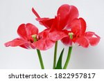 Large Red Tulips On A White...