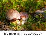 Boletus Edulis Mushroom In...