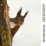 Cute European Squirrel  Sciuru...