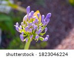 Close Up Of Purple African Lily ...