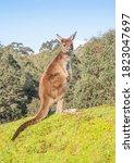 A Western Grey Kangaroo ...