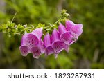 Close Up Of The Pink Foxglove...