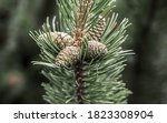 Cedar Branch Covered With A...