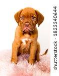 Bordeaux Mastiff Little Dog Baby