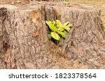 Piece Of The Trunk Of An Oak...
