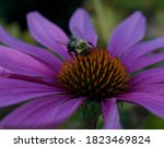 Honey Bee On A Purple Echinace...
