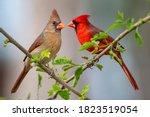 Pair Of Northern Cardinals...
