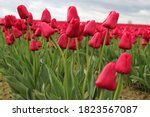 Tulips In Bloom In Skagit...