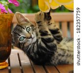 Stock photo a cheeky brown tabby kitten playing on a garden table european shorthair germany 182357759