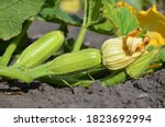 Small Zucchini With A Large...