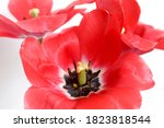 Large Red Tulips. Open The...