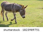 Domestic Donkey Going For A...