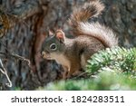 Pine Squirrel Flicks Tail Whil...