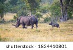 A White Rhinoceros Mother ...