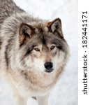 Gray Wolf In The Snow Looking...