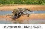 Jaguar Attacking Cayman...