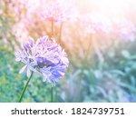 Close Up Agapanthus Violet...