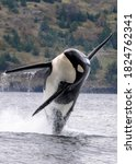 Breaching Black And White Orca...