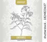 lemon myrtle aka backhousia... | Shutterstock .eps vector #1824823637