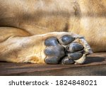 The Foot Of The Lion\'s Hind Pa...