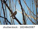 Southern Masked Weaver Female...
