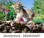 Portrait Of Little Grey Kitten...
