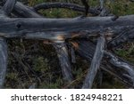 Dry Dead Gray Tree Trunks With...