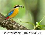 Beautiful mangrove pitta bird...