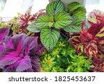 Coleus Plants On The Window....
