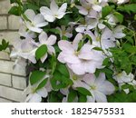 Close Up Of Clematis Flowers...