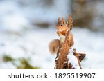 A Red Squirrel Perches On A...