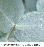 Green Eucalyptus Leaf With...