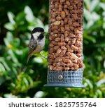 A Coal Tit Feeding At A Nut...