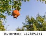 Ripening Pomegranate Fruits On...