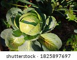 Water Drops On A Cabbage Plant...