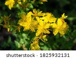 Yellow Flowers Hypericum On A...