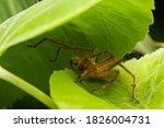 Huntsman Spider Staying On Leaf ...