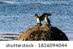 Two Cormorants On A Rock By The ...