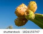 Edible Prickly Pear Cactus...