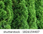 Close Up Of Green Thuja Hedge ...
