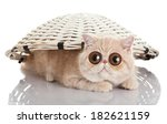 Stock photo exotic shorthair cat funny playful cat funny surprised cat 182621159