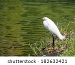 Snowy Egret With Head Tilted T...