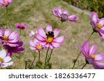 Bumblebee Pollinating Pink And...
