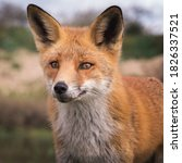 Portrait Of The Red Fox   Soft...