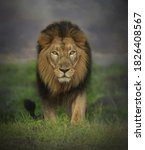 Image Of A Long Haired Lion...