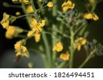 Yellow Broccoli Flower On A...