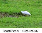 A White Snowy Egret  Egretta...